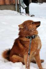 The Finnish Spitz Dog Journal
