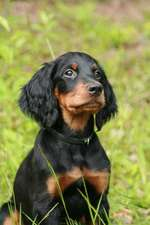 The Gordon Setter Dog Journal