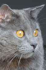 The Chartreux Cat Journal There's That Infernal Red Dot Again!