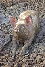 Happy as a Pig in Mud Journal