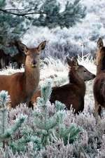 Deer in the Snow at Glen Coe Scotland Journal