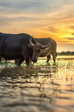 Water Buffalo in a Rice Paddy Thailand Journal