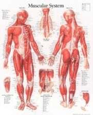 Muscular System Male Chart:  Laminated Wall Chart